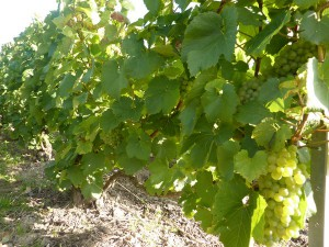 vignes bouzy
