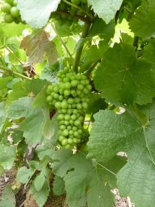 vignes plener bouzy
