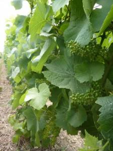 vigne bouzy