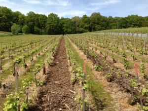 Vignes bouzy plener